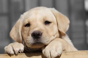 puppy-close
