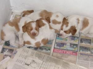 puppy-litter